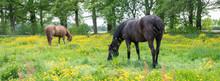 Two Brown Horses Graze In Meadow Full Of Yellow Buttercups Near Oak Trees