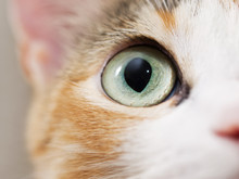 Cute Domestic Cat. Close-up Ph...