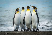 Four King Penguins Together On...