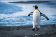 King Penguin Walking Along Beach Waving Flippers