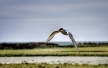 Tern Flying Over Field Against Sky