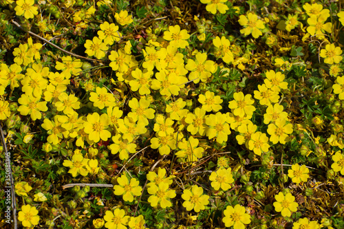 Fotografering Yellow flowers of creeping cinquefoil as floral background, Potentilla reptans o