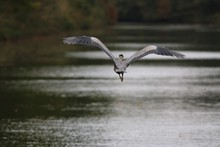 Rear View Of Bird Flying Over Lake