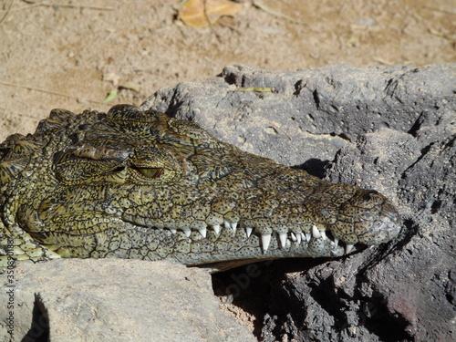 Close-up Of Alligator On Rock Canvas Print