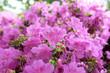 Leinwandbild Motiv Rhododendron obtusum (Ericaceae), outdoor plants 2020