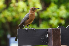 The Great-tailed Grackle Or Me...