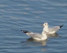 Close-up Of Seagulls Swimming On Lake