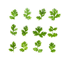 Green Coriander Leaves On A Wh...