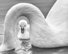 Newborn Baby Cygnet Framed By ...
