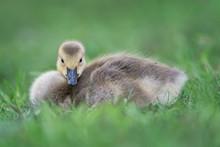 Newborn Baby Canada Goose Gosl...
