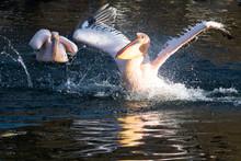Pelicans Swimming In Lake