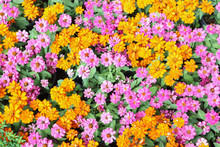 Photo Of Many  Daisy And Zinnia Flowers In The Outdoor Garden Show Colorful Colors.