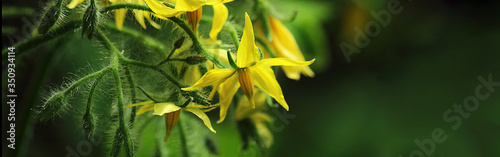 Obraz Tomato, flowering plant, yellow flowers. Abundant flowering, agriculture. Garden plant of the Solanaceae family. Field or home gardening. Horizontal banner. - fototapety do salonu