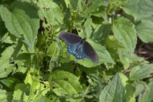 Pipevine Swallowtail Or Blue Swallowtail (Battus Philenor)
