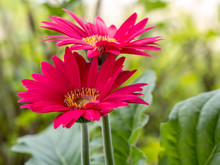 Two Pink Gerbera Daisy Flowers In Bloom With A Green Leafy Background.  Beautiful Spring Flowers.