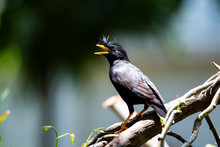 White - Vented Myna