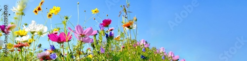 Obraz colorful wildflower meadow with blue sky and sunshine - floral summer background banner with copy space - fototapety do salonu