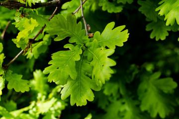 Zielone liście w lesie wiosną