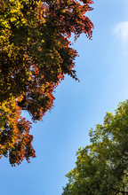 View Upwards Of Tree Tops With Different Coloured Leaves