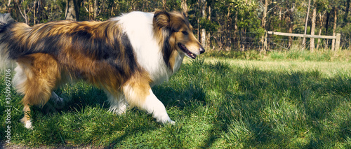 Shetland Sheepdog Walking On Grassy Field Fotobehang