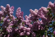 Low Angle View Of Flower Tree ...