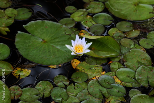 Fotografia Close-up Of Lotus Water Lily In Pond