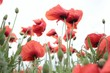 Close-up Of Poppies Blooming Against Sky