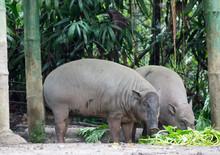 Buru Babirusa (Babyrousa Babyrussa) Is A Wild Pig-like Animal Native To The Indonesian Islands..