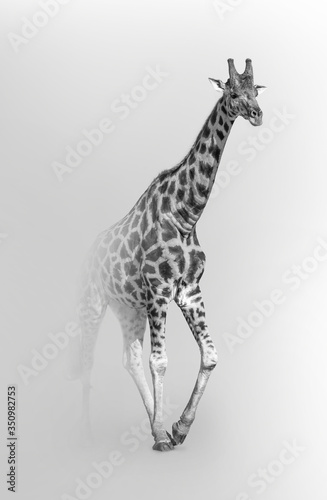 giraffe african national park wildlife animals