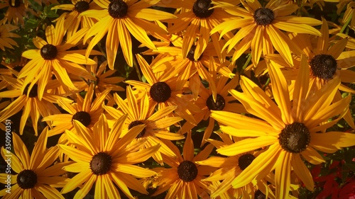 Tablou Canvas Close-up Of Black-eyed Susan Blooming Outdoors