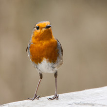 Close-up Of Robin