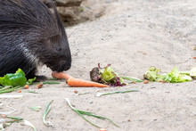 Porcupine Eating Carrots In Th...