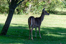 Female Whitetail Deer Under Fruit Tree With Fruit On Ground