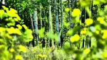 Birch Tree Trunks In Autumn Forest