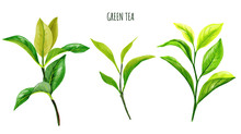 Green Tea Branches And Leaves,...