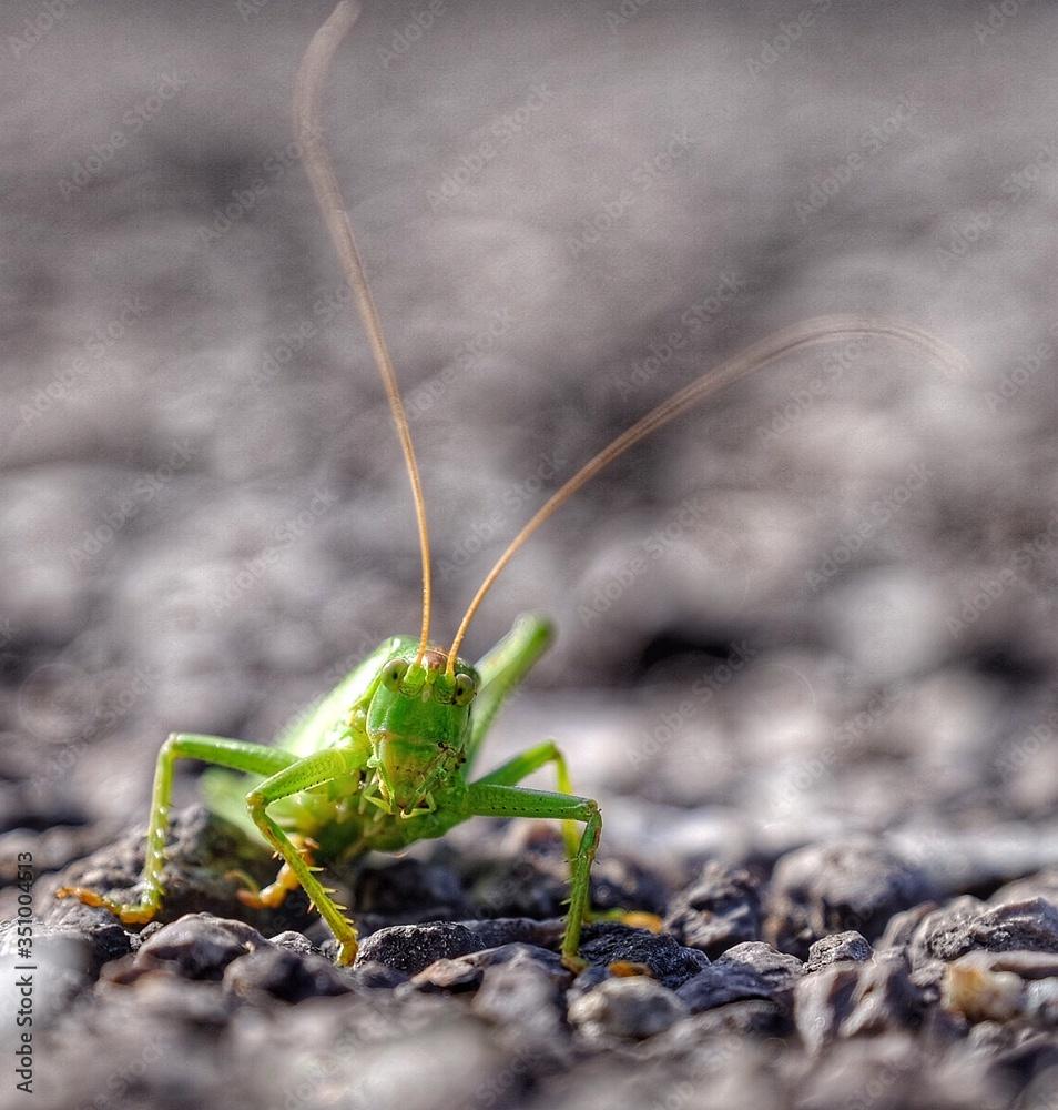 Fotografie, Obraz Close-up Of Grasshopper On Rocks