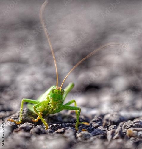 Obraz na plátně Close-up Of Grasshopper On Rocks