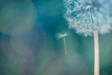 Closeup Of The Dandelion And T...