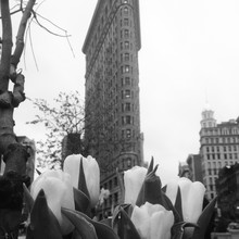 Close-up Of Tulips With Flatiron Building In Background