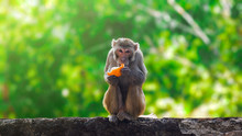 Monkey Eating Orange Fruit And...