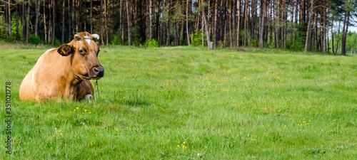 Fototapeta Leżąca krowa na łące na tle lasu obraz