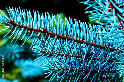 gałązka z drzewa iglastego Obraz na płótnie