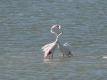 Couple Of Pink Flamingo Fighti...