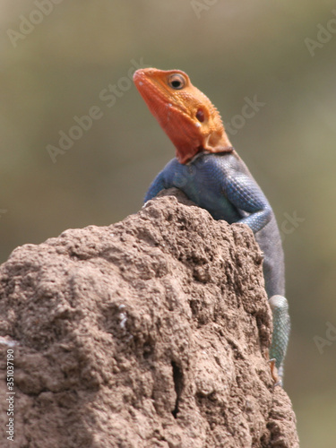 Close-up Of Agama On Clay Canvas Print