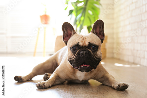 Obraz Funny dreamy frenchie with sad facial expression lying on wood textured floor. Fawn french bulldog with black mask at home. Purebred dog with wrinkled face. Close up, copy space, background. - fototapety do salonu