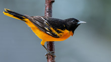 Male Baltimore Oriole In The G...