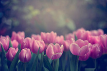 Pink Tulips Blooming Outdoors