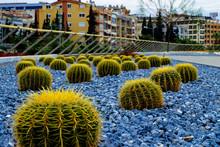 Barrel Cactus By Buildings In City