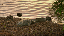 Sunset Shot Of A Marsh Crocodile On The Shore Of Lake Tadoba In India