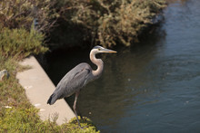 Side View Of Great Blue Heron By Lake
